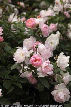 'Scarborough Fair' roses | Martin Hughes-Jones   / David Austin / shrub rose