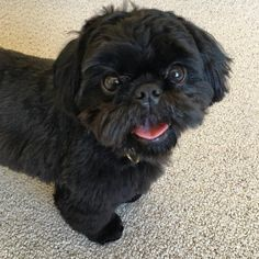 """905 Likes, 21 Comments - Rosie The Shih Tzu (@rosiepupstagram) on Instagram: """"I mustered up this smiley #TOT just for you! Happy #tongueouttuesday everypawdy!…"""""""
