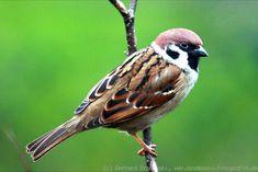 Druh Vzhled: Tree Sparrow muži nebo ženy