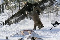 Quick question: you are a majestic, deadly Golden Eagle enjoying a plateful of mouth-watering half-frozen-animal-carcass-on-the-ground, when a scrawny fox comes over and tries to join in on the feast. What do you do? WHAT DO YOU DO?! The answer: you grab that sucker by its hind legs and attempt to give it a quick first lesson in flying (warning: there is no lesson #2). And that's exactly what is happening in this 2006 picture taken by Finish photographer Pekka Komi.