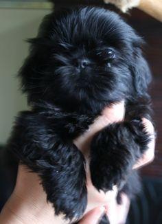Chanel, sweet #Shihtzu puppy!