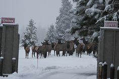 Elk herd at Sunriver Resort, Oregon.