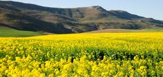 Canola Fields, the Overberg region of the Southern Cape Canola Field, South Africa, Fields, Maine, Southern, Mountains, World, Travel, Scenery
