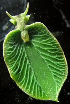"The Eastern Emerald Elysia (Elysia chlorotica). A marine opisthobranch gastropod mollusc. This sea slug is one of the ""solar-powered sea slugs"", utilizing solar energy via chloroplasts from its algal food. Underwater Creatures, Underwater Life, Ocean Creatures, Under The Water, Beautiful Creatures, Animals Beautiful, Sea Slug, Tier Fotos, Sea And Ocean"