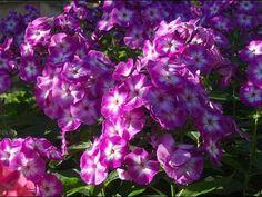 Флоксы посадка и уход - когда сажать и пересаживать, обрезка и уход после цветения, посадка осенью и подготовка к зиме, размножение черенками