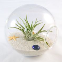 Perfect for displaying your medium sized air plants. Kit includes 5.5 inch orb terrarium, white sand, seashells and air plant.