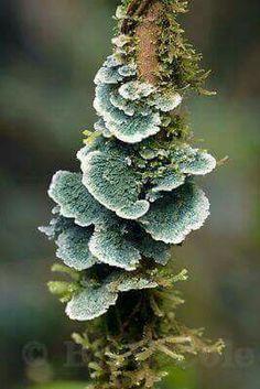 [CasaGiardino] ♛ Large blue-gray fungus on a tree trunk, Las Nubes, Costa Rica Wild Mushrooms, Stuffed Mushrooms, Mushroom Pictures, Mother Images, Plant Fungus, Mushroom Fungi, Patterns In Nature, Natural Forms, Bonsai