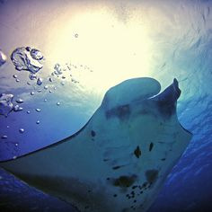 Manta rays in Komodo with the light coming through.