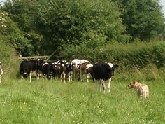 Dingo our Australian cattle dog doing what comes natural - rounding up the heifers.