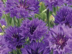 Centaurea cyanus,  cornflower or Bachelor's button , is a tiny early summer annual with thistle-like blooms that attract butterflies. Direct sow seeds in early spring or in fall for mild winter areas.