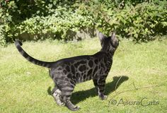 Bengal Cat Gallery - Cat's Nine Lives I Love Cats, Cool Cats, Tortoiseshell Tabby, Cat Entertainment, Best Cat Food, Bengal Cats, Warrior Cats, Cat Collars