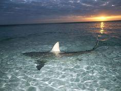 shark at sunset
