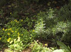 mi casita en el bosque: Un jardín lleno de vida ♥ Oxalis conorrhiza