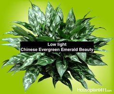 Chinese Evergreen, Aglaonema, how to grow plant care guide. Learn how much light, water, and fertilizer a Chinese Evergreen plant needs. Find answers to Chinese Evergreen care questions. Chinese Evergreen Plant, Low Light Plants, Flower Pots, Flowers, Plant Needs, Garden Spaces, Low Lights, Plant Care, Growing Plants