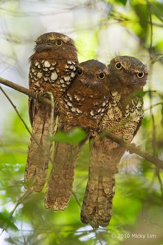 Javan Frogmouth Family ~ From left to right ~ The Female, Their Chick and The Male. These Birds have strong family ties.
