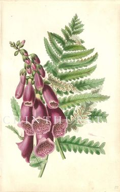 FOXGLOVE AND FERN. Louisa Anne Twamley. Chromolithograph from 'The Romance of Nature'. 1836