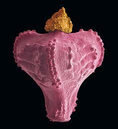 Verborgener Prunk: Wie die  goldene Spitze einer Krone hat  sich die Narbe der Fruchtblätter  auf der herzförmigen Frucht des Ostafrikanischen Riedgrases  (Bulbostylis hispidula pyriformis) erhalten. Sie zählt zu den  Achänen, einer Art der Nussfrüchte (Foto von: Rob Kesseler)