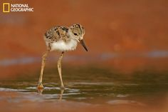 mage of a black-necked stilt chick (Himantopus mexicanus) foraging in Arizona. The field had small mounds of orange-colored dirt, which provided a distinctive background for the photograph.  (Photo Courtesy Phil Seu/National Geographic Your Shot)