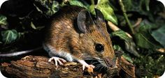 Get some ideas about symbolic mouse meaning, and some messages this tiny creature may have to share with you. Puzzle Place, Tiny Eye, Animal Medicine, Animal Symbolism, Symbols And Meanings, Mother Earth, Mother Mother, Animal Totems, Mammals