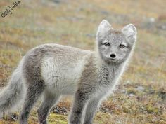 The Arctic fox inhabits the arctic and alpine tundra of Eurasia, the Siberian islands, inland Iceland and Svalbard. Description from lhnet.org. I searched for this on bing.com/images