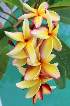 This Seasons Best Plumeria Blooms! --- Plumeria 'Don Ho'