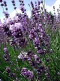 Plants that Repel Bugs from Holistic Horse (Facts on Citronella, Lavender, Catnip, Holy Basil, Lemon Thyme, and Marigold)