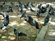Hello pigeons!!!