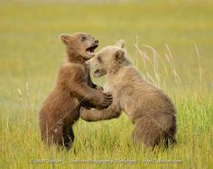Grizzly Bear Cub, Bear Cubs, Bear Pictures, Cool Pictures, Baby Bears, Alaska Travel, Second Baby, Brown Bear, Cute Babies