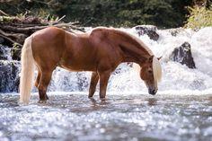 — Den tollen Haflingerhengst - Amo. #horse #beauty #water #haflinger #waterfall