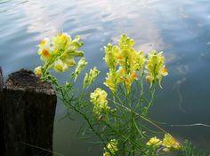 http://c2.peakpx.com/wallpaper/864/462/360/wild-snapdragon-yellow-agra-plant-wallpaper-preview.jpg