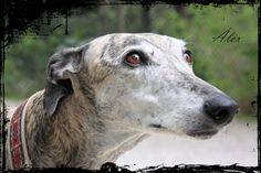 He is Alex, a retired greyhound who was adopted by Carles.  retratosolidario@gmail.com