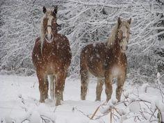 Deux chevaux sous la neige