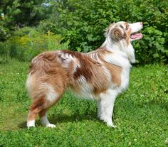 Inspiring 100+ Amazing Australian Shepherds https://meowlogy.com/2017/03/28/100-amazing-australian-shepherds/ Should you be attempting to avert a dog with lots of of odor, keep away from breeds with excessive folds and floppy ears. Every dog needs to be traine...