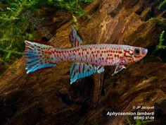 Aphyosemion lamberti BSWG 97-09