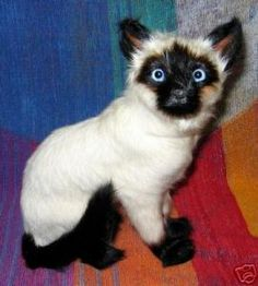 Goathair Siamese tom cat