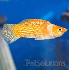 Sailfin Mollies - one of the first kinds of fish I kept when starting my aquarium in the early days. Strong livebearers.