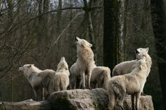 artic wolves at song