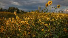 Mogollon Rim Roads - On the Mogollon Rim, common sunflowers fill the void left by the devastating Rodeo-Chediski Fire. | Paul Gill