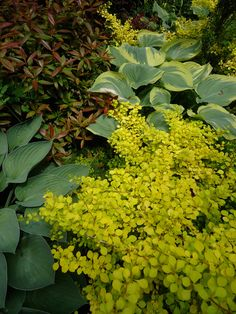 read A Gardener Comes to Term with Yellow http://www.pacifichorticulture.org/articles/a-gardener-comes-to-term-with-yellow/ Berberis 'Golden Nugget' and Rhododendron 'Star Sapphire' (augustinii x carolinianum) with various hostas in the Seattle garden of John Dove...