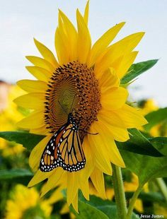Sunflower and monarch <3