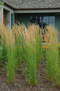"""Karl Foerster Reed Grass Calamagrostis x acutiflora """"Karl Planted *excellent.Foerster"""" Height: 5 feet Spread: 32 inches Sunlight: full sun partial shade Hardiness Zone: 3 Other Names: Feather Reed Grass; blooms in early June Perennial Grasses, Herbaceous Perennials, Tall Ornamental Grasses, Tall Grasses, Sun Perennials, Outdoor Pots, Outdoor Gardens, Feather Reed Grass, Gardens"""