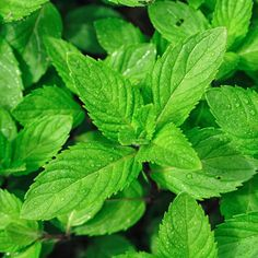 Ginger Tea from 7 Teas That Settle Your Stomach (Slideshow) Peppermint Herb, Peppermint Plants, Spearmint Tea, Chocolate Morsels, Fresh Mint Leaves, Herb Seeds, Ginger Tea, Hardy Plants, Container Plants