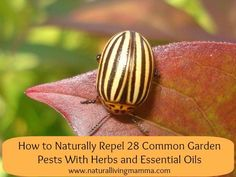 How to naturally repel 28 common garden pests using herbs and essential oils - Natural Living Mamma