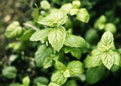 Peppermint extract-Have an abundant of mint plants and always looking for more ways to use it.
