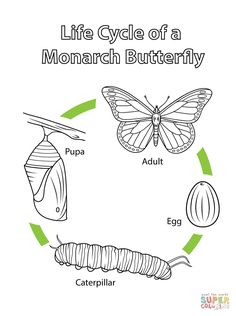 Life Cycle of a Monarch Butterfly coloring page from Butterfly category. Select from 27569 printable crafts of cartoons, nature, animals, Bible and many more.
