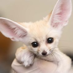 """""""Our fennec fox kits are growing AND so are their ears! They help regulate their body temperature. Cat Fails, Fennec Fox, Cutest Dog Ever, Nature Sounds, Cute Fox, Cute Baby Animals, Animal Babies, Pet Care, Funny Cats"""