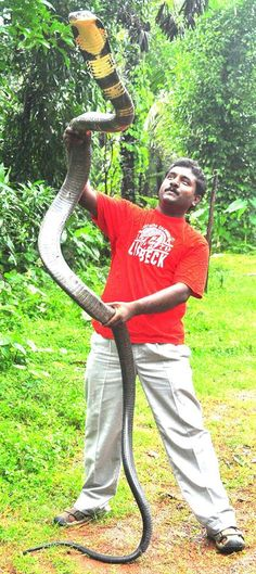 I knew king cobras were big but to see a man holding one, it really drives home its size! They're the largest *venomous* snakes in the world. Their venom is a powerful neurotoxin causing respiratory and cardiac arrest. Yet they try to avoid people, snakes (including other types of cobra) being their only diet. Probably due to habitat loss, they're now listed as vulnerable.
