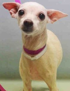 SAFE ❤️❤️5/9/16 BY REEFUGE ANIMAL RESCUE❤️ - THANK YOU!!❤️ SUPER URGENT Manhattan Center DAISY – A1072711 FEMALE, WHITE, CHIHUAHUA SH, 10 yrs OWNER SUR – ONHOLDHERE, HOLD FOR ID Reason ALLERGIES Intake condition GERIATRIC Intake Date 05/06/2016 http://nycdogs.urgentpodr.org/daisy-a1072711/