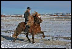 The Icelandic Horse - Tölt