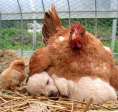 Hen, chick and dog
